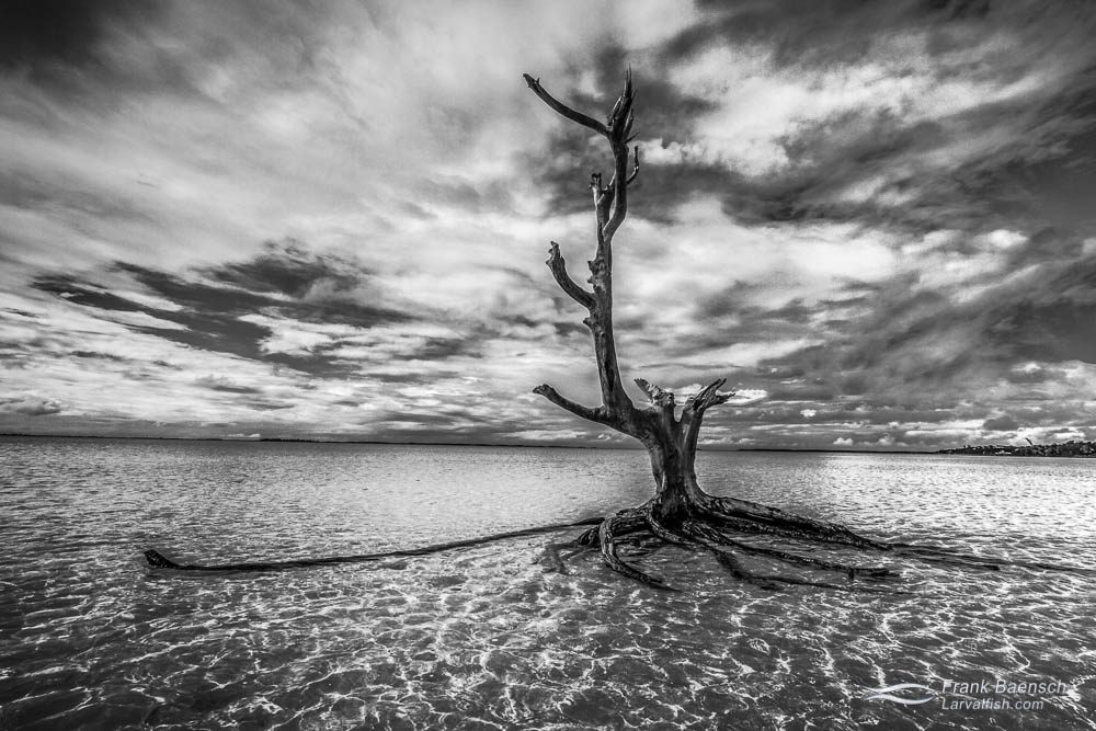Dead tree on a sand bar in Eleuthera, Bahamas.