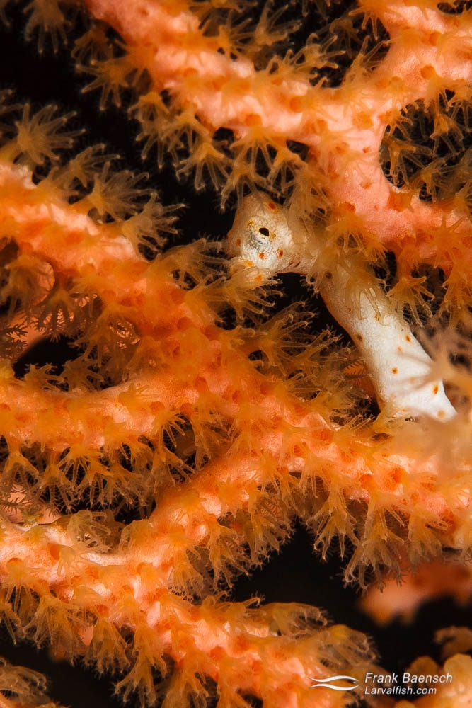 Denise's pygmy seahorse (Hippocampus denise) peeks out from behind gorgonian branches. Indonesia.