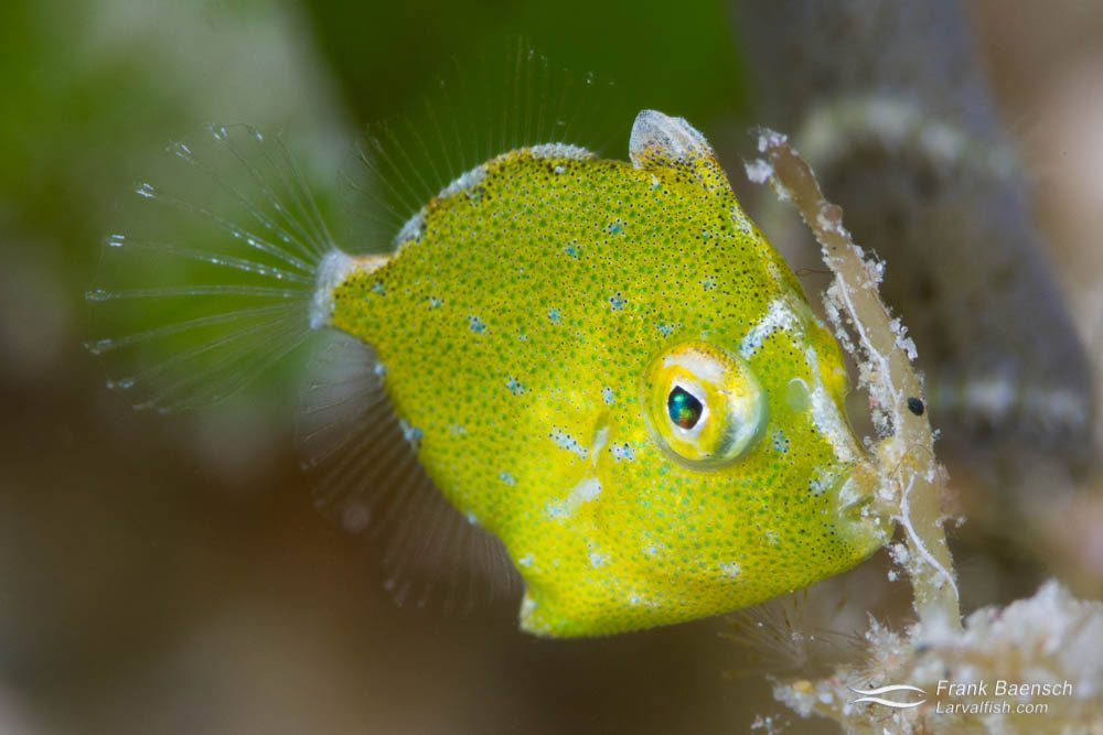 Diamond filefish (Rudarius excelsus) juvenile (1/2 cm). Indonesia.