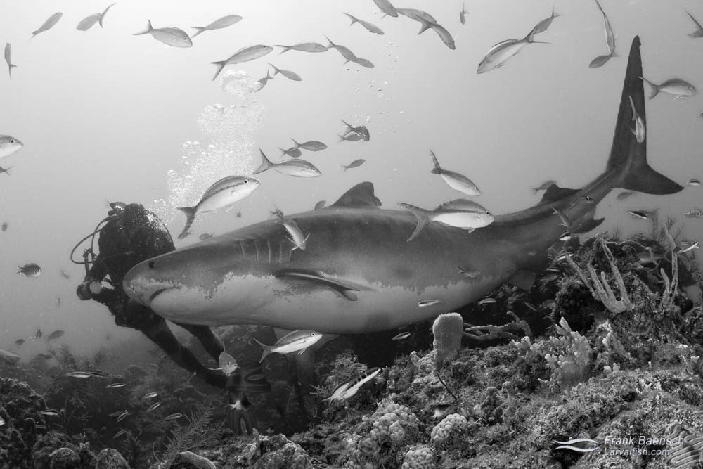 Diver holds off a huge and pregant tiger shark (Galeocerdo cuvier) with his camera. Bahamas.