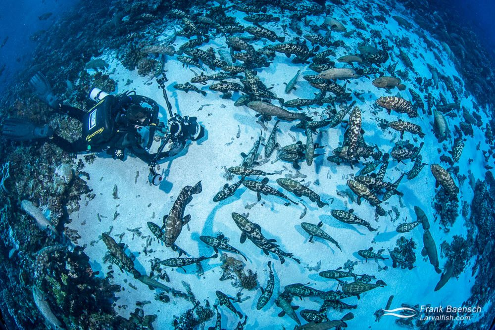 Diver photographs camouflage grouper spawning aggregation in Fakarava South Pass (Tetamanu Pass), French Polynesia.
