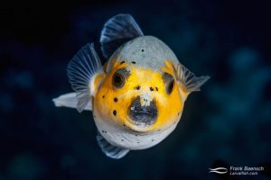 Dog-faced puffer (Arothron nigropunctatus). Indonesia.