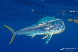 A dolphinfish (Coryphaena hippurus) in the open ocean. Hawaii.