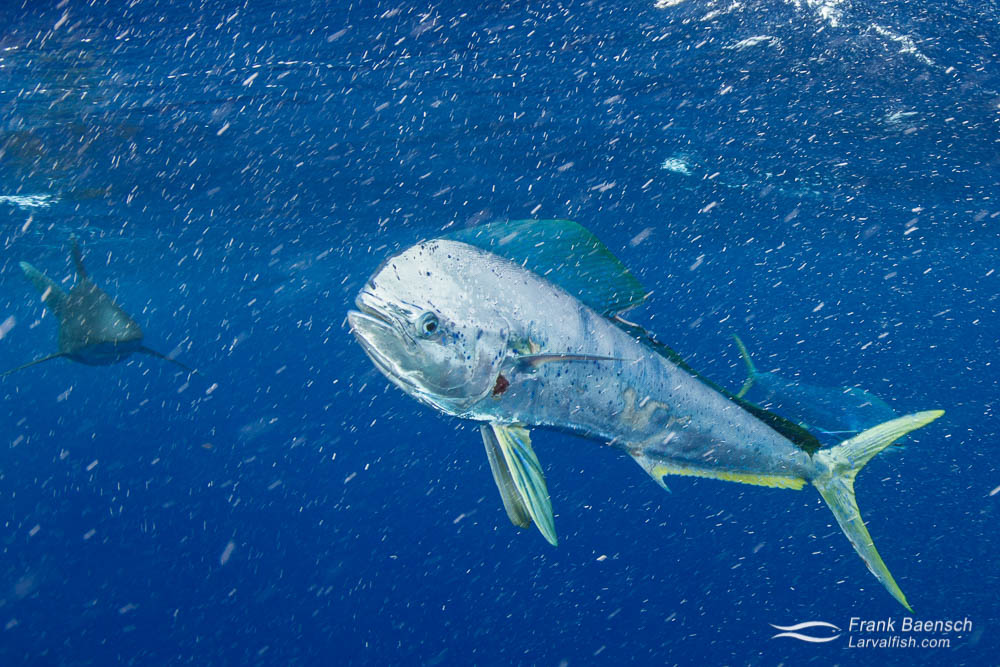 A dolphinfish (Coryphaena hippurus) swims in to feed. Hawaii.