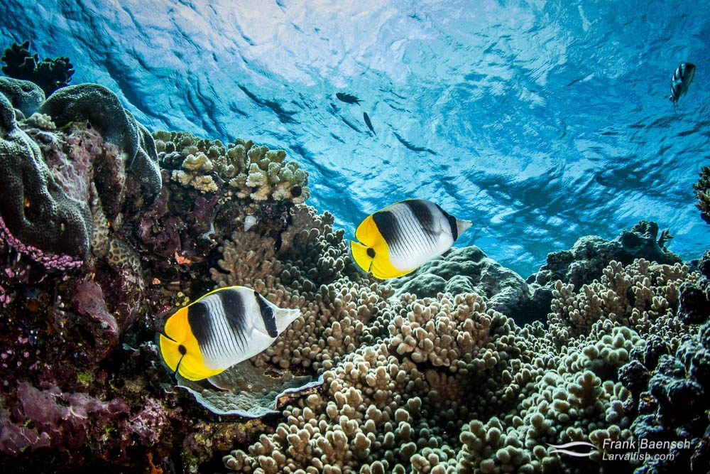 Double-barred butterflyfish (C. ulietensis) pair on a reef in Fiji.