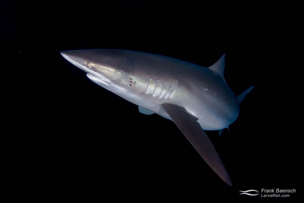 Dusky shark (Carcharhinus obscurus) at night. Bahamas.