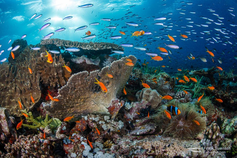 Colorful anthias swarm over a healthy coral reef in Papua New Guinea.