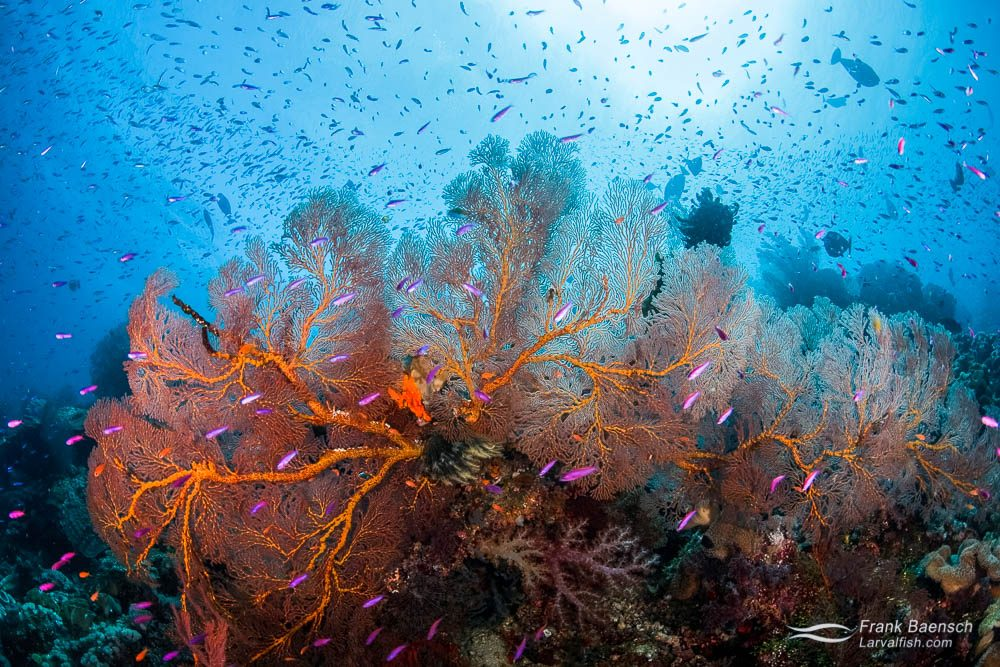 Anthias swarm around gorgonian on a reef in Eastern Fields, Papua New Guinea.