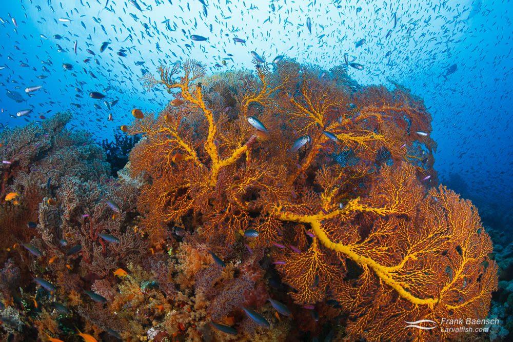 Magenta slender anthias (Luzonichthys waitei) school over gorgonian in Eastern Fields. Papua New Guinea.