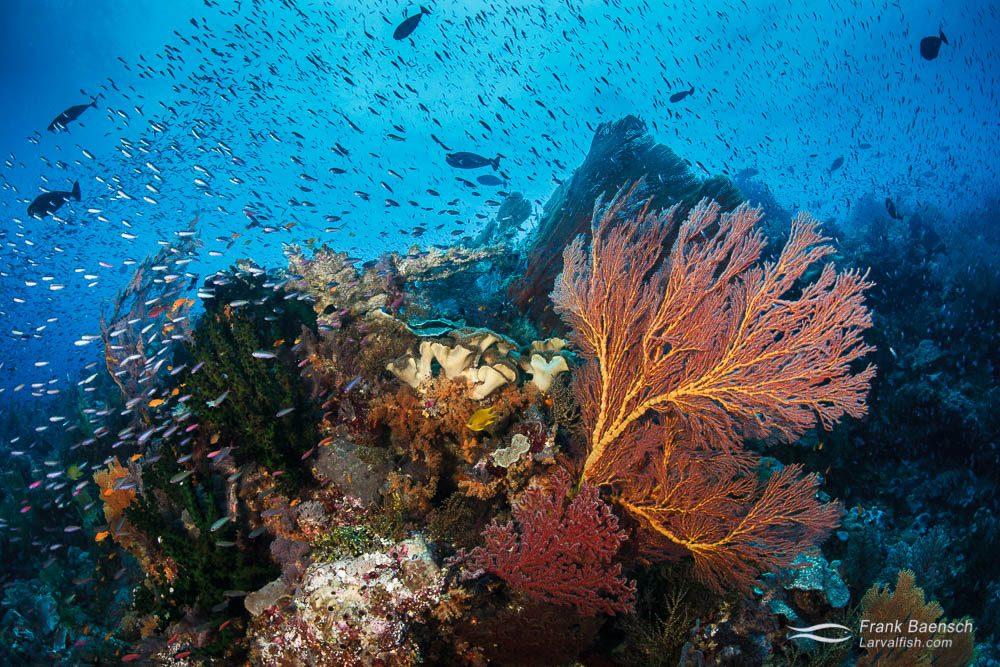 Anthias-Soft coral-Gorgonian reef scene. Papua New Guinea.