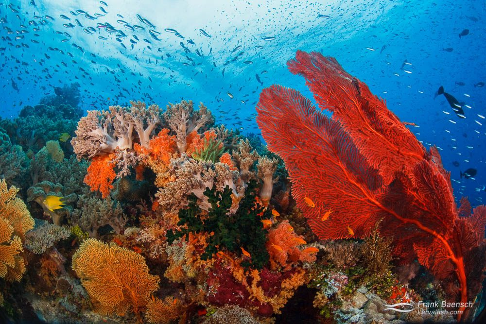 Anthias swarm over soft corals on a reef in Eastern Fields. Papua New Guinea.
