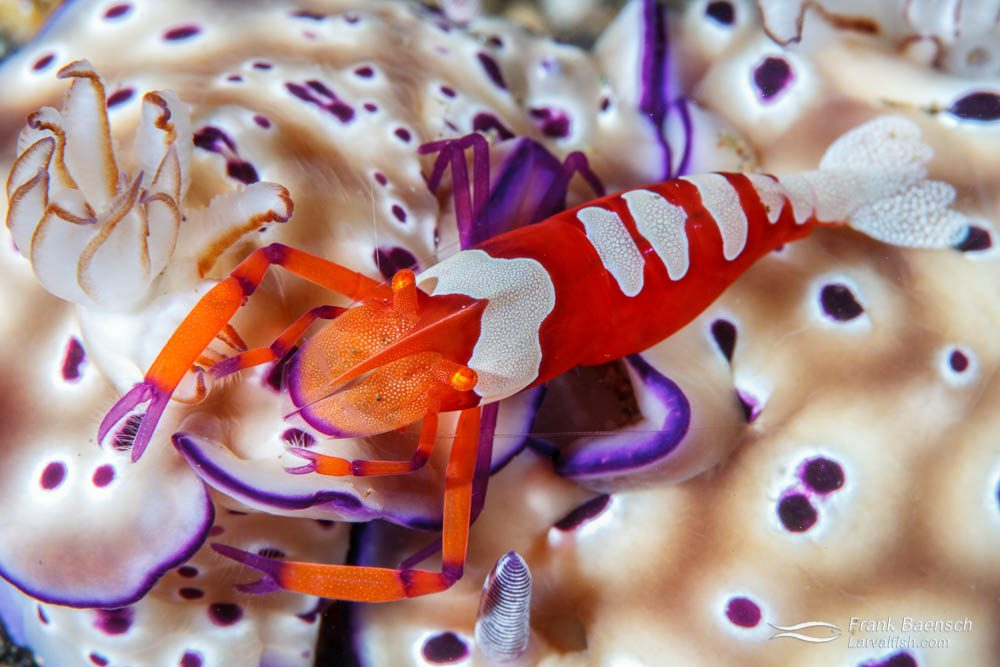 Emperor shrimp (Periclimenes imperator) lives commensally on a number of hosts, including this sea slug: Hexabranchus.