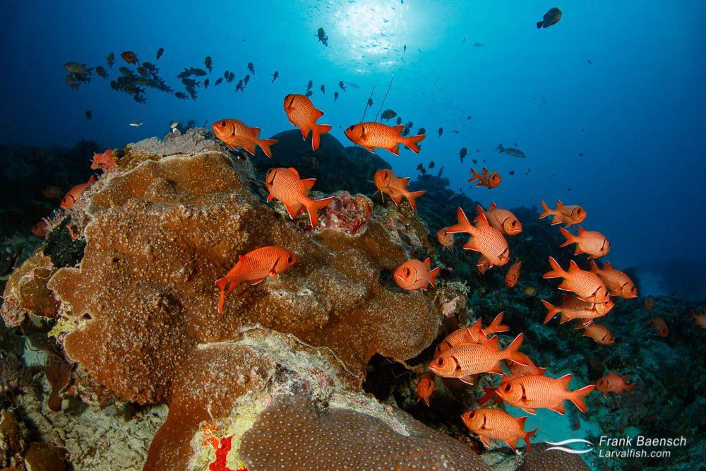 Epaulette soldierfish (Myripristis kuntee) schooling in Palau at sunset.