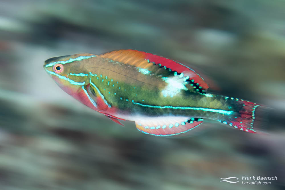 Motion blue of exquisite wrasse (Cirrhilabrus exquisitus) racing across the reef in  PNG. Papua New Guinea.