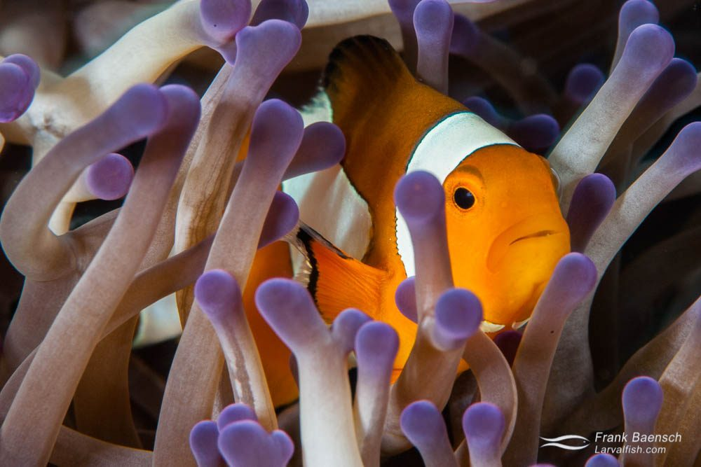 False clownfish (Amphiprion ocellaris)  hiding in a purple-tipped anemone. Indonesia.