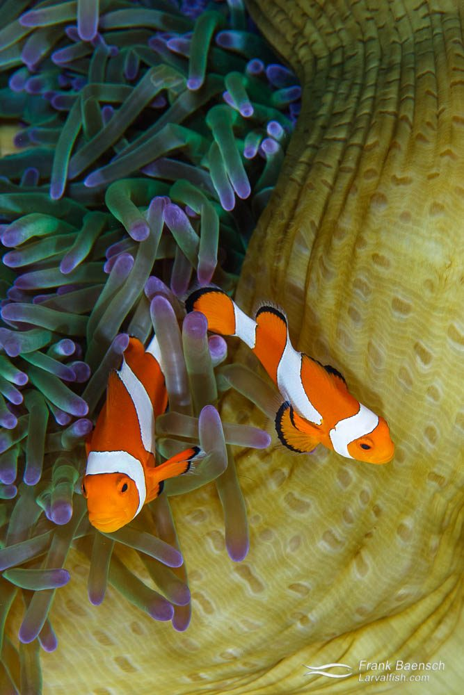 Birds eye view of false clownfish (Amphiprion ocellaris) pair in their anemone. Indonesia.