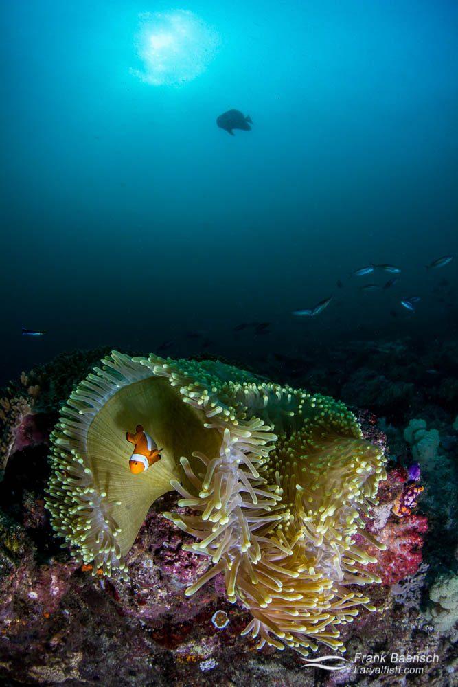 False clownfish (Amphiprion oceallaris)  anenome scene. Indonesia.