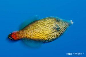 Fantail filefish (Pervagor spilosoma) in blue water. Hawaii.