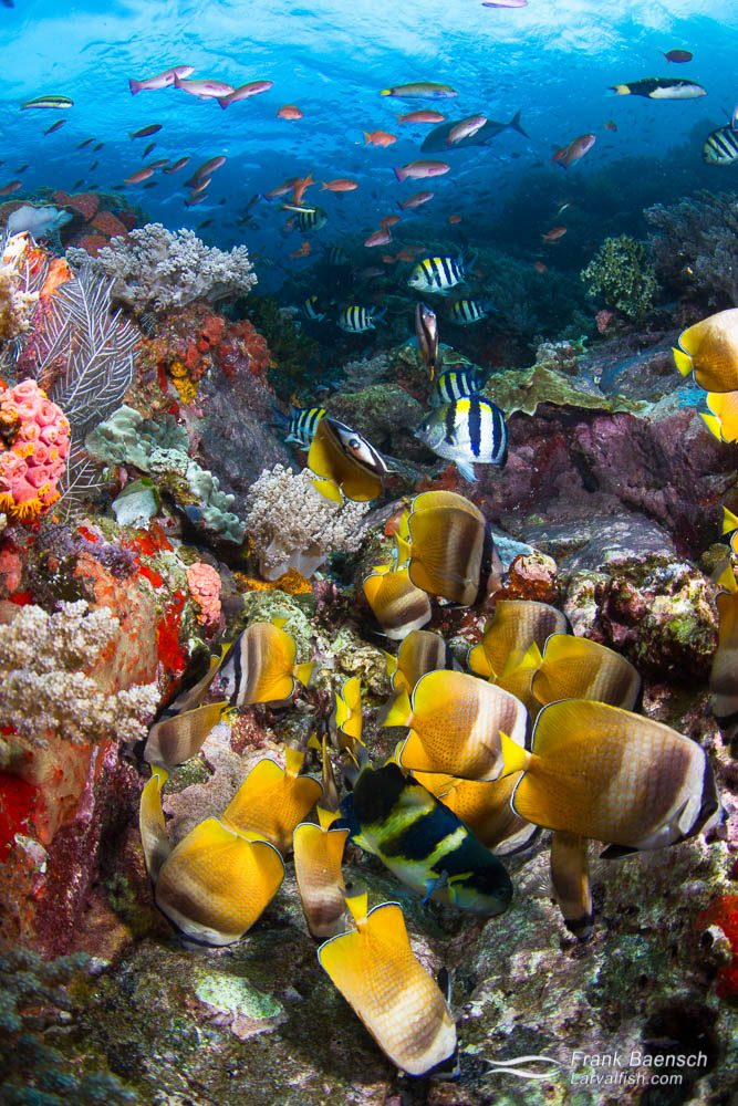 Colorful butterfly fish gobble up Pacific sergeant eggs. Indonesia.