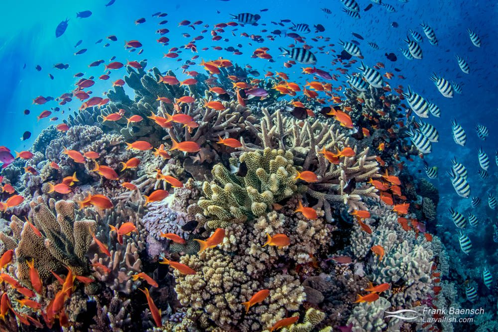Indo-pacific sergeant and anthias reef scene. Fiji.