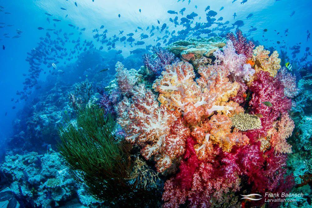 Snapper, soft coral reef scene in Fiji