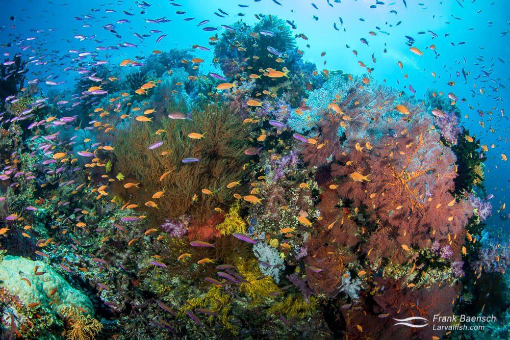 Anthias soft coral reef scene in Fiji.