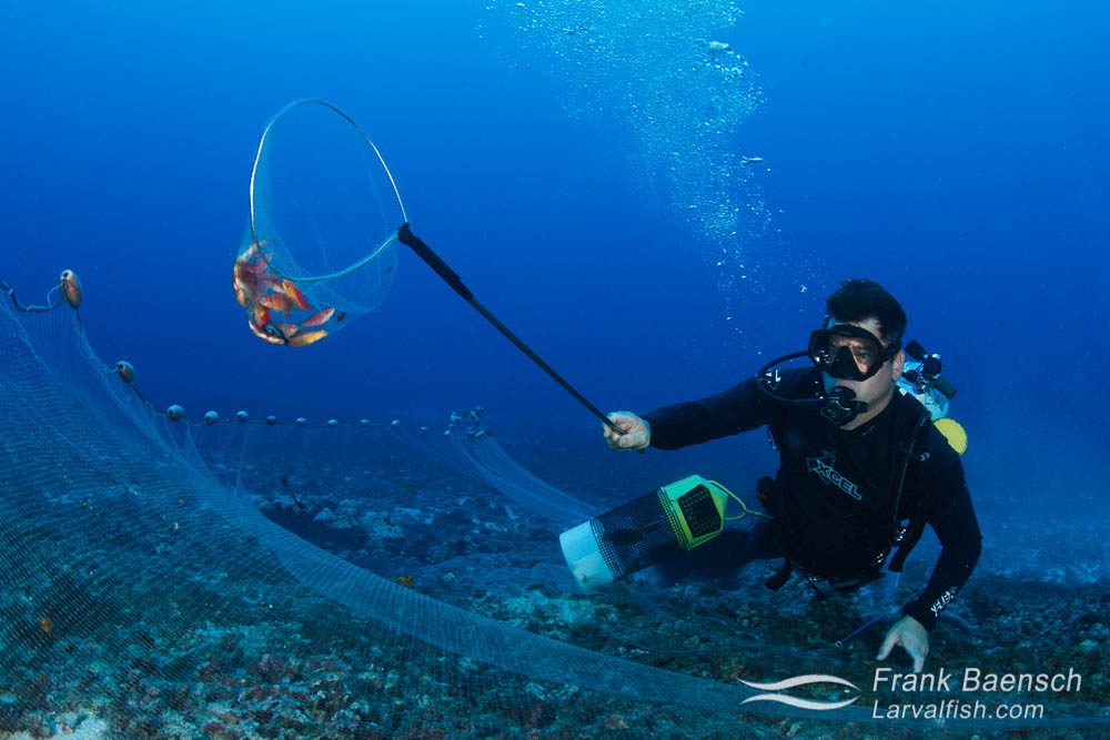 Fish collector infront of a barrier net with a hand net full of flame wrasses (Cirrhilabrus jordani). Hawaii.