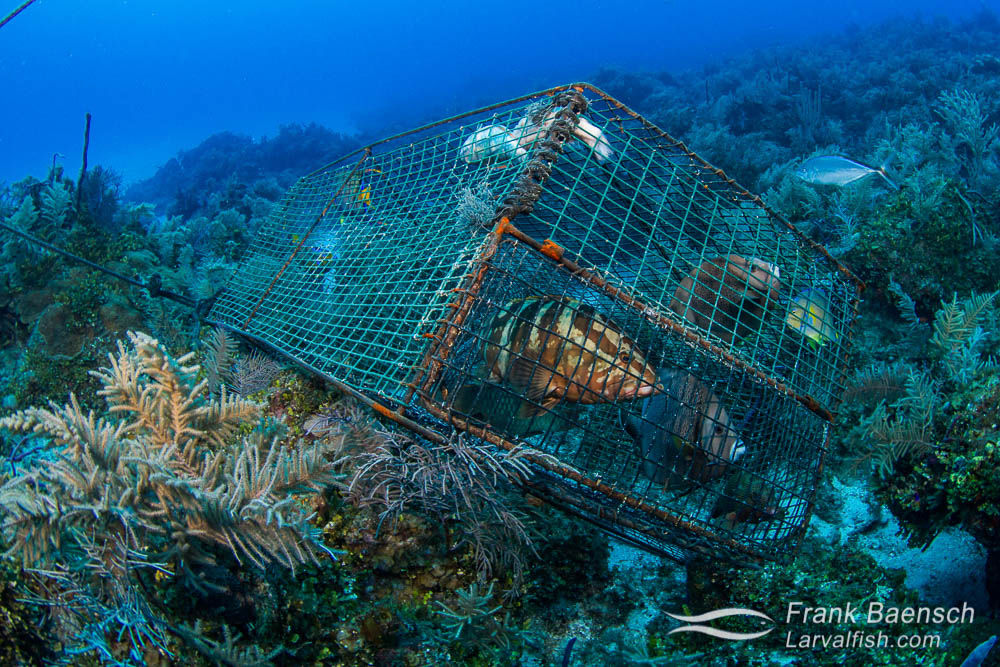 I found this fish trap on a deep reef in the Bahamas. The trap contained  3 queen angels, 2 gray angels, 2 coney groupers, 1 Nassau grouper and 1 parrot fish. The angels and parrotfish are considered bycatch but will not survive the pressure change once the trap is brought to the surface.  This trap was tied to a rope that ran square across the reef and was connected to more traps, about 60 feet apart. Trapping has severely depleted reef fish populations in the Bahamas.