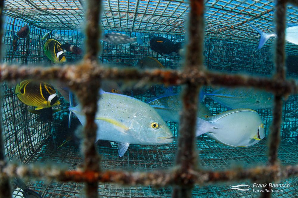 "This fish trap contained racoon butterflyfish, bluefin trevally, brown surgeonfish, orangebar surgeonfish, manybar goatfish and blue goatfish. Most of these species are bycatch. The mesh size was only 1.5""x1.5"".  The fish will die from the pressure change when this trap is brought to the surface.  Traps with larger mesh sizes would allow smaller, non-targeted species to escape eliminating unecessary mortality. Hawaii."