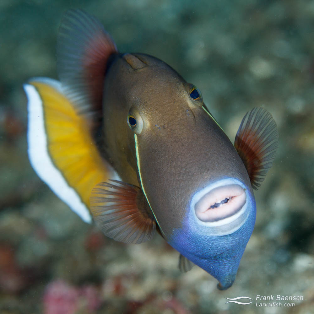 Flagtail triggerfish (Sufflamen chrysopterus). Philippines.