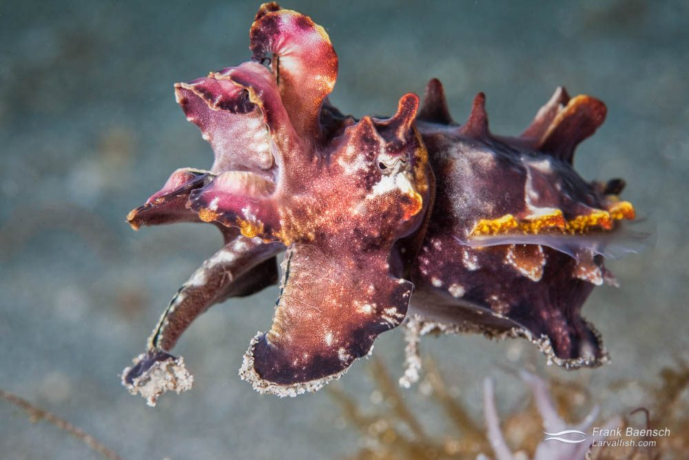 A flamboyant cuttlefish (Metasepia pfefferi) lifts off from the muck in search of food. Indonesia.