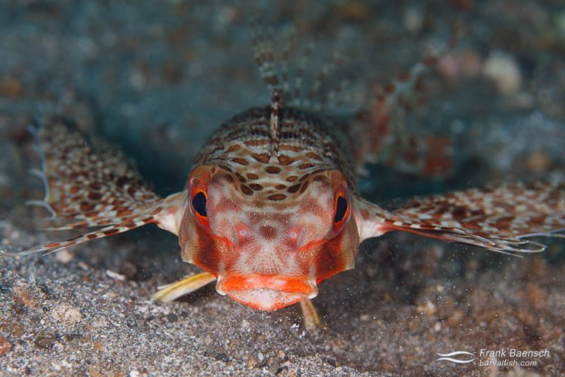 A flying gurnard (Dactyloptena orientalis) sifting through sand in search of food. Indonesia.