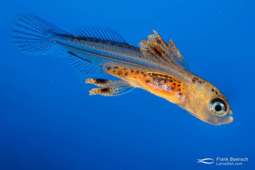 Collected flyingfish larva; 6.8 mm. Hawaii.