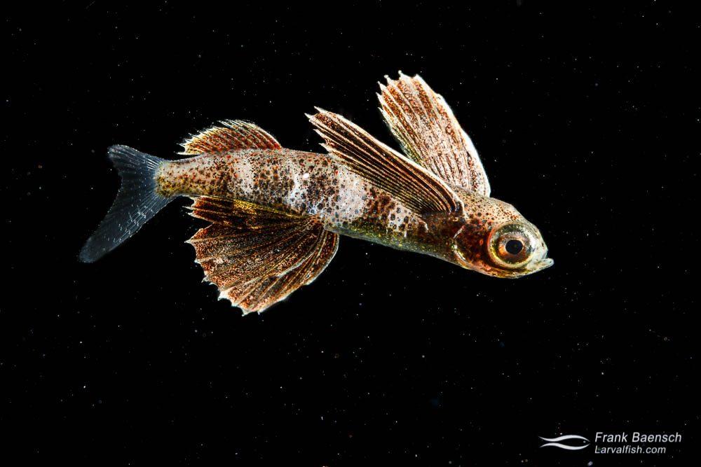 Flyingfish larva (Exocoetidae) - 28 mm TL. Papua New Guinea.