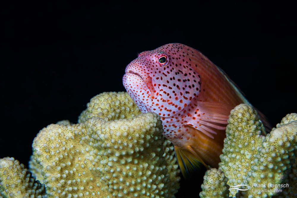 Freckled or Forster's hawkfish (Paracirrhites forsteri) perched on Porites coral. Papua New Guinea.