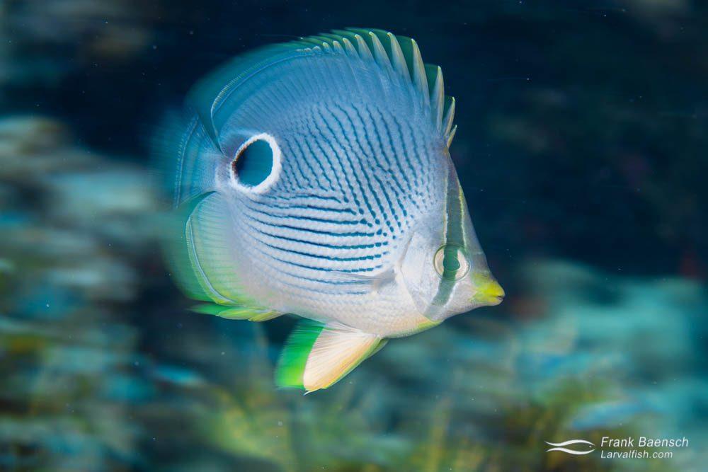 Foureye butterflyfish (Chaetodon capistratus). Bahamas.