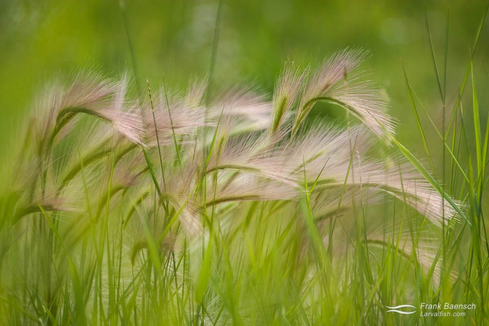 Foxtail grass in Alaska.
