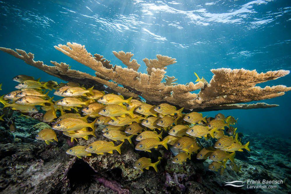 French grunts (Haemulon flavolineatum) seek shelter under elkcorn coral at dusk. Bahamas.