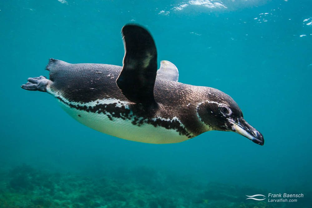 Galapagos penguin (Spheniscus mendiculus) races by underwater. Galapagos Islands.
