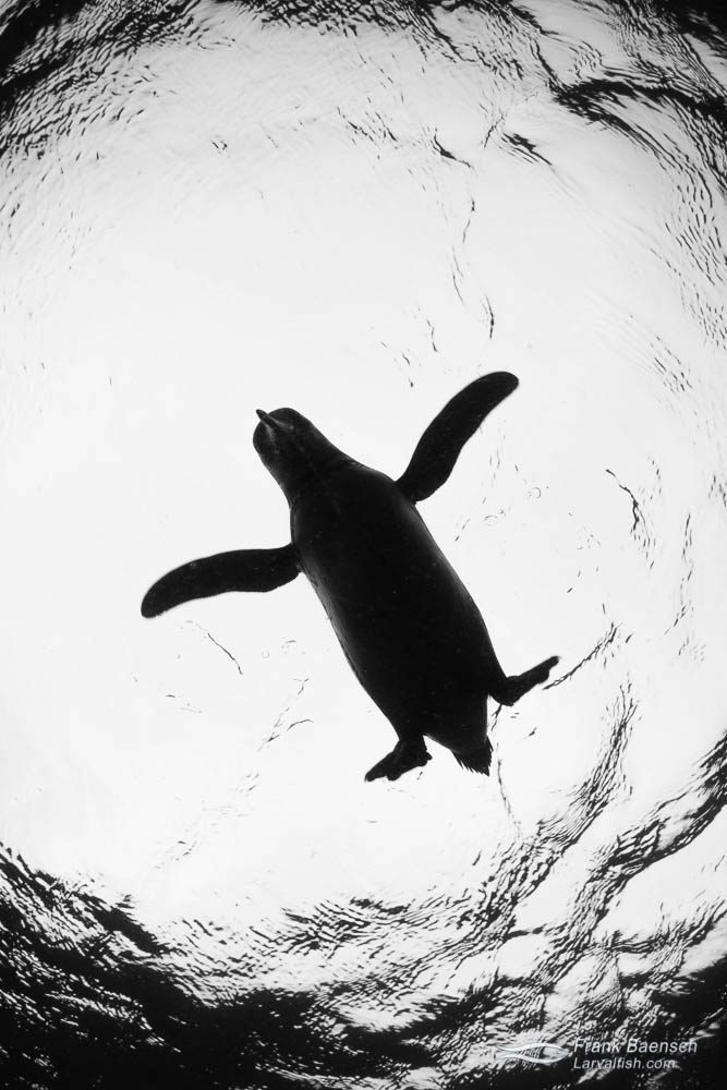 Silhouette  of a Galapagos penguin (Spheniscus mendiculus). Galapagos Islands.