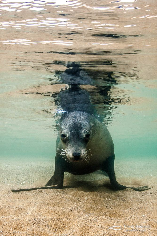 Galapagos sea lion (Zalophus californianus) surface reflection. Galapagos Islands.