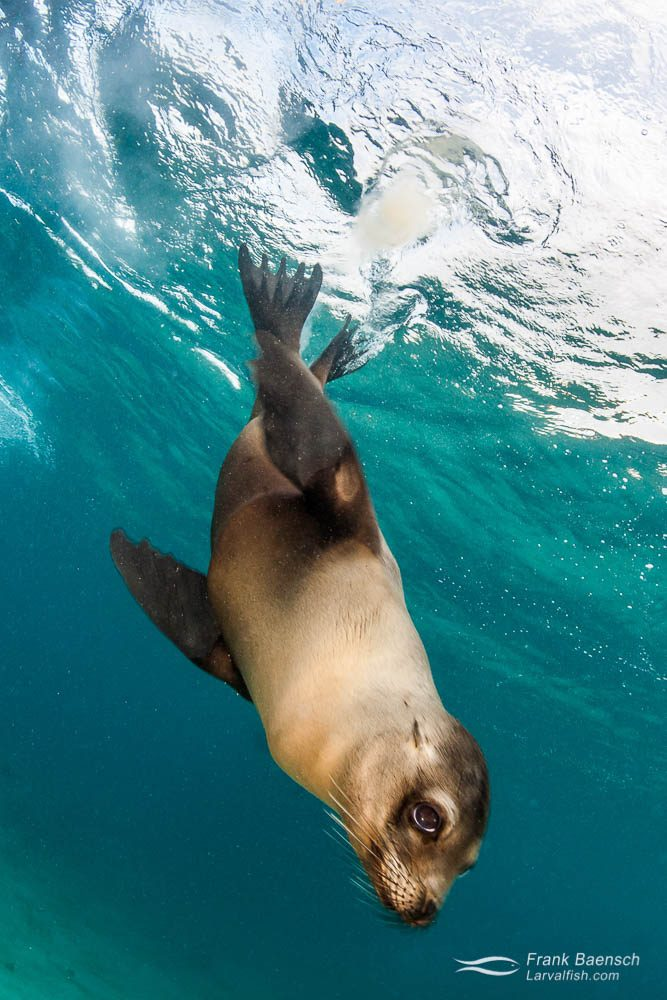 Galapagos sea lion (Zalophus wollebaeki) diving down from the surface. Galapagos Islands.