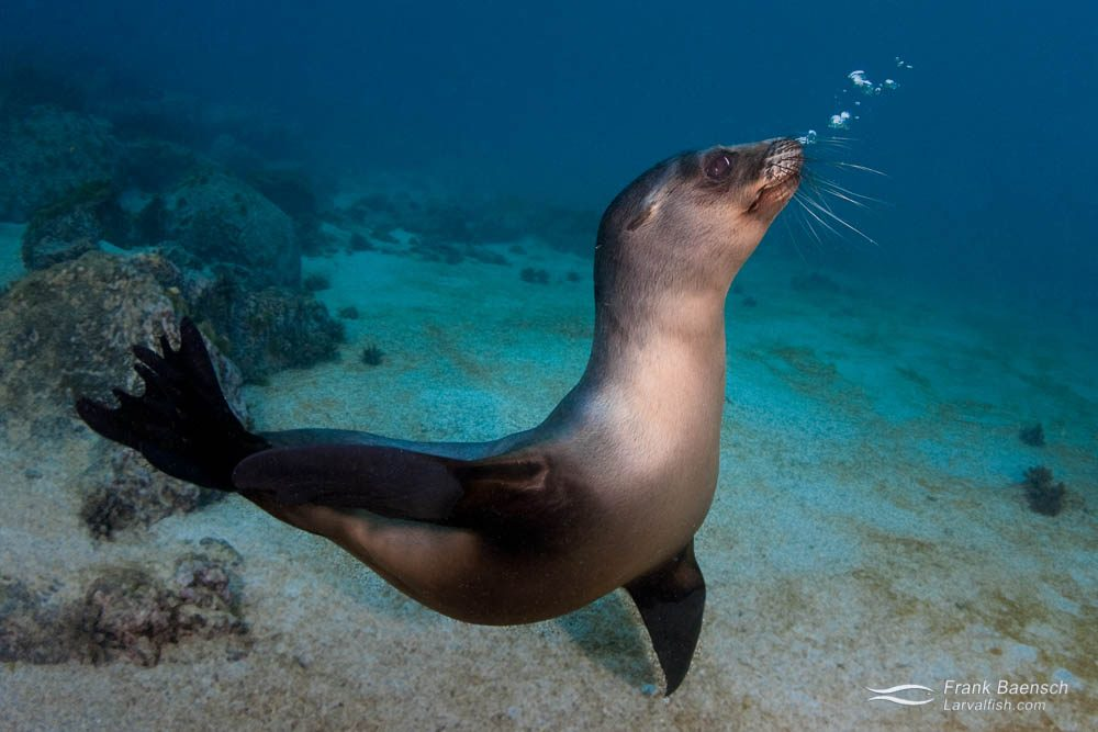 A young Galapagos sea lion (Zalophus wollebaeki) blowing bubbles. Galapagos Islands.