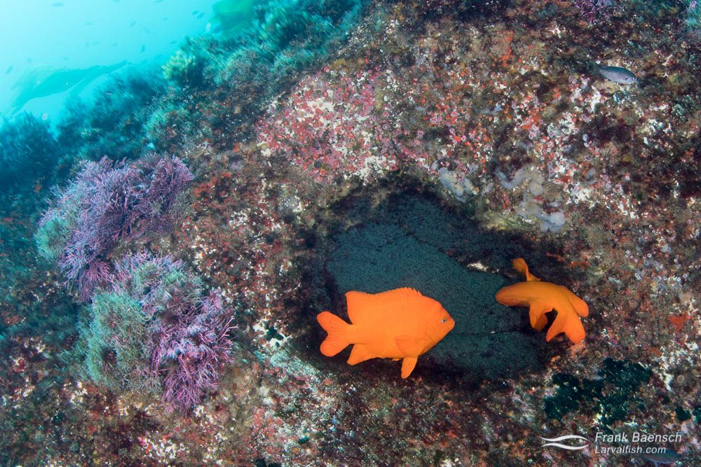 Garibaldi (Hypsypops rubicundus) pair aerating their nest. California.