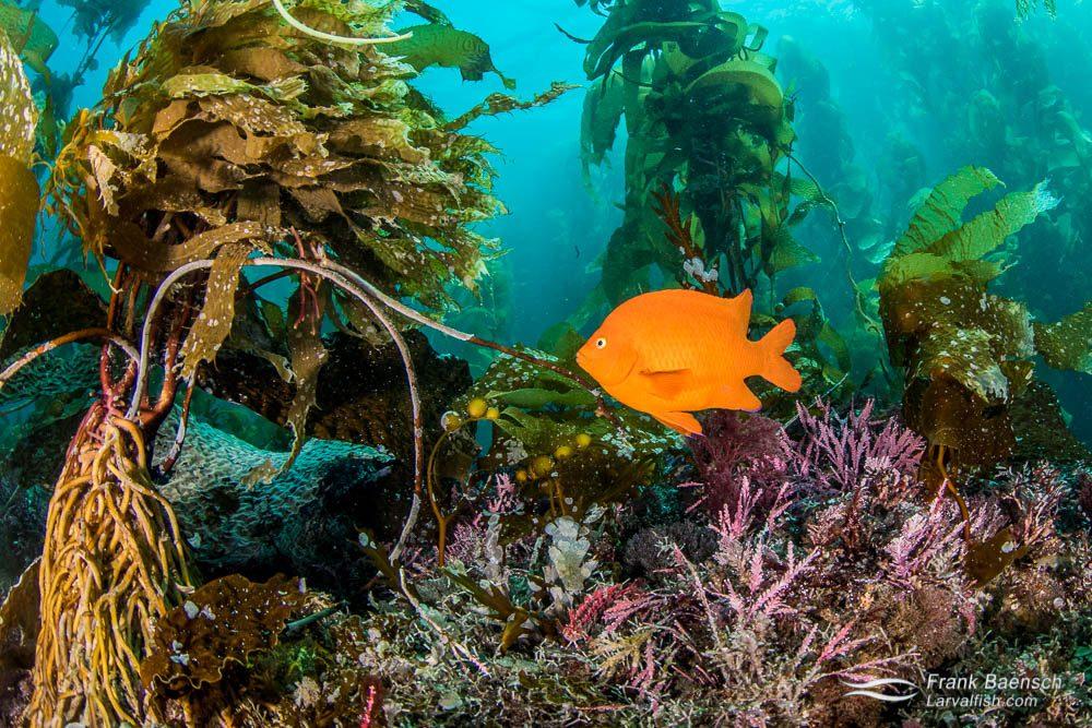 Garibaldi (Hypsypops rubicundus) in kelp forrest. California.