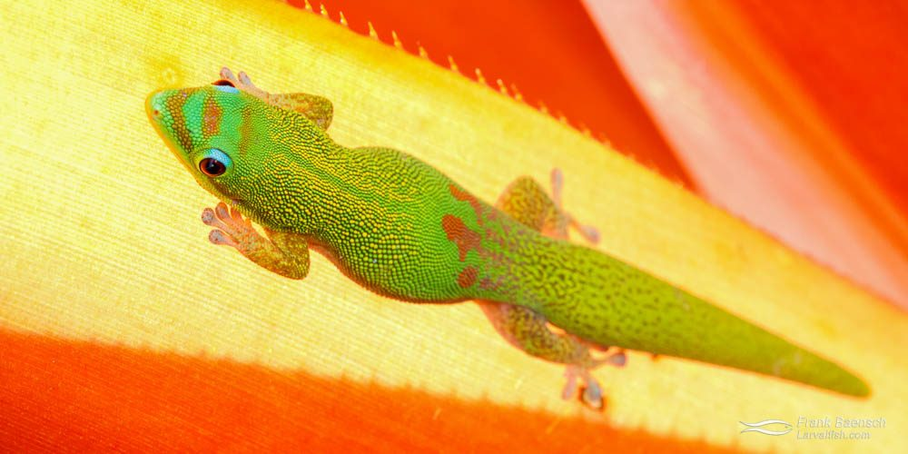 Gold-dust day Gecko (Phelsuma laticauda) on a bromeliad leaf. Hawaii.
