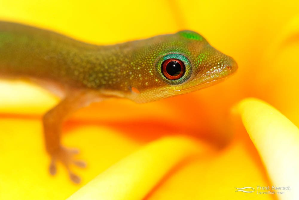 Baby gold -dust day gecko (Phelsuma laticauda) on a plumeria flower. Hawaii.