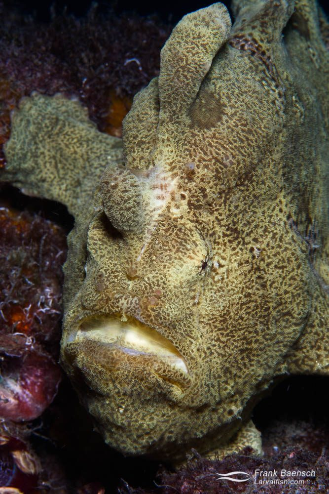 """Frogfishes, family Antennariidae, like this giant frogfish (Antennarius commersoni) are a type of anglerfish in the order Lophiiformes. They can be distinguished from other anglerfish by the three extended dorsal fin spines on their heads. The first dorsal spine is modified as a fishing lure to attract prey. The lure consists of the illicium (the spine) and the esca (the bait), and may resemble a worm, crustacean, or small fish. Frogfishes do not swim in the conventional way; instead, they """"walk"""" on their pectoral fins or use 'jet propulsion' (forcefully expelling water from the small opercular opening generally behind and below the pectoral fins). They are mostly bottom-dwelling fish, typically living amongst coral, at up to 100 metres (330 ft) depth, where they lie in wait for prey. They are able to change their colour to match the background with high precision, and their camouflage is further aided by numerous warts and filaments on their skin, giving them an appearance similar to rough coral. Lembeh Strait, Indonesia"""