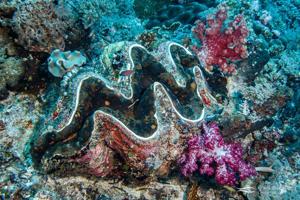 Two soft corals attached to a giant giant clam (Tridachna gigas) in Palau.