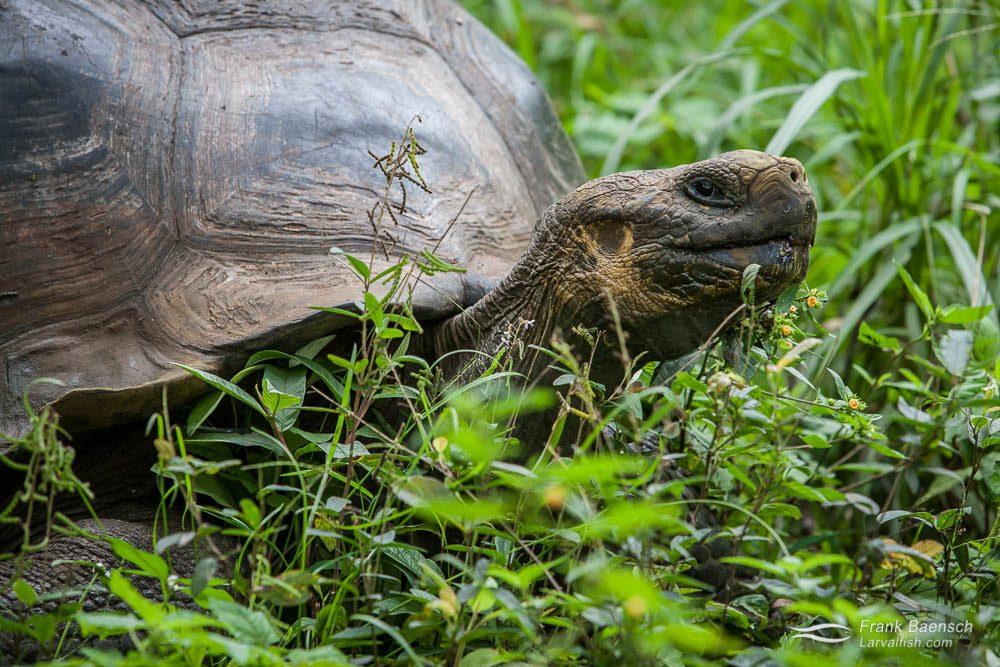 Galapagos giant tortoise (Geochelone nigra). Galapagos Islands.